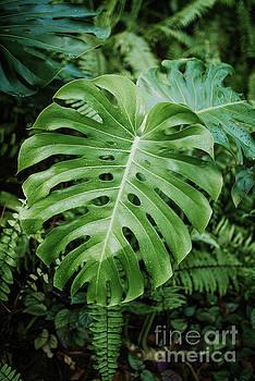Monstera plant by Viktor Pravdica