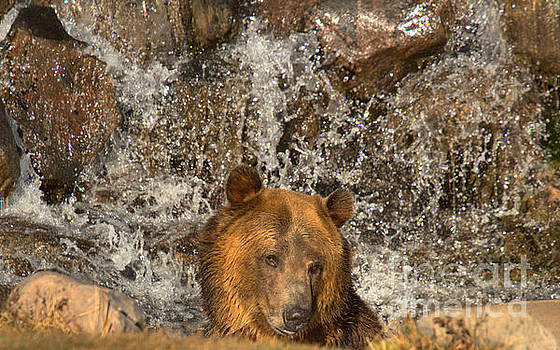 Adam Jewell - Montana Grizzly In A Waterfall