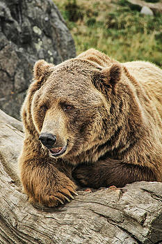 Montana Grizzly by Juli Ellen
