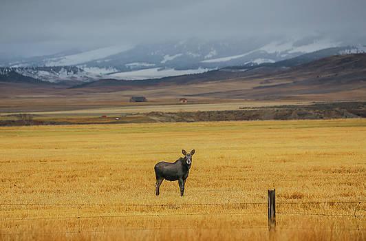 Montana Moose by Sam Amato