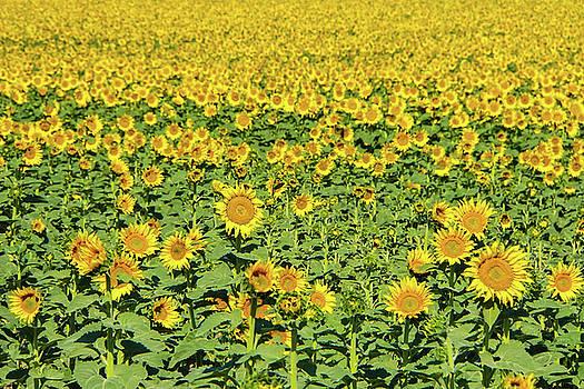 Montana Sunshine by Paki O'Meara
