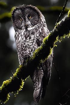 Moody Great Gray Owl by Ian Harland