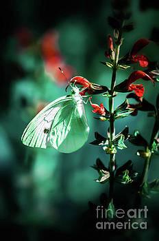 Moonlight butterfly by Gerald Kloss
