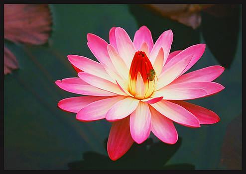 Valentine Lily by Jim Austin Jimages