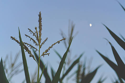 Moonlight Over Tassels by Betsy Armour