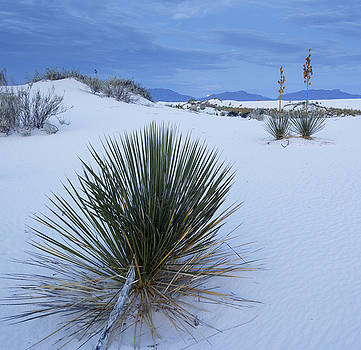 Moonset Yucca by Focus On Nature Photography