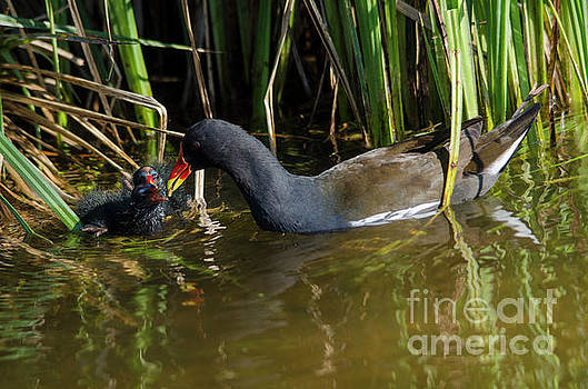 Moorhen with chicks by Steev Stamford
