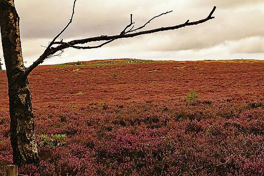 Moorland heather by Tony Murtagh