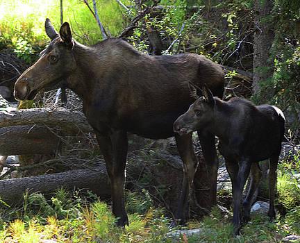 Moose and calf by Bob O'Dean