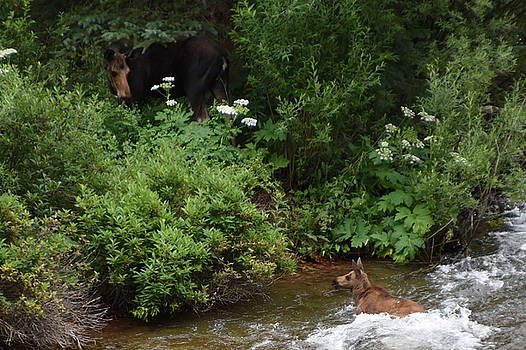 Moose and Calf Crossing Stream by Erin Clausen