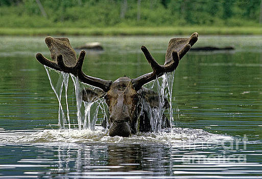 Moose, Baxter Sate Park, Maine by Kevin Shields