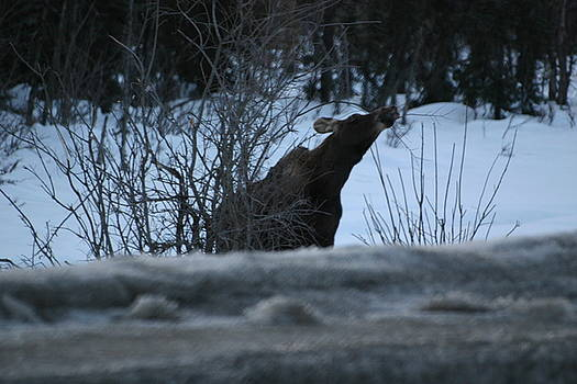 Moose By Roadside by James Thompson