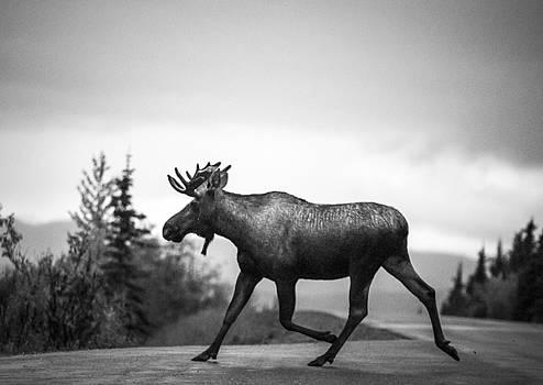 Moose Crossing 1 by Greg Grupenhof
