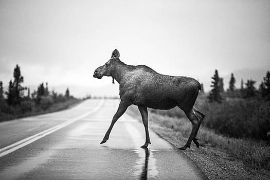 Moose Crossing 3 by Greg Grupenhof