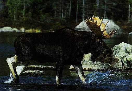 Diane Kurtz - Moose