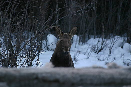 Moose in Alaska by James Thompson