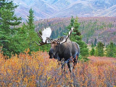 Moose in Denali National park by Rob Hallifax