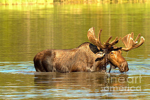 Moose In The Forest Reflections by Adam Jewell