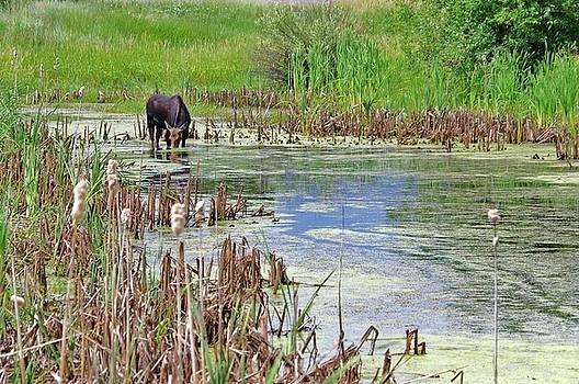 Moose in the Marsh by Matt Helm