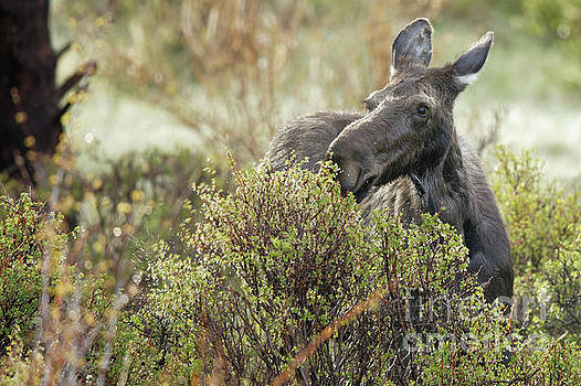 Moose in the Willows of Colorado by Natural Focal Point Photography
