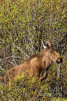 Moose in the Wyoming Willows by Natural Focal Point Photography