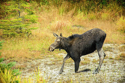 Moose on a Knee by Alana Ranney