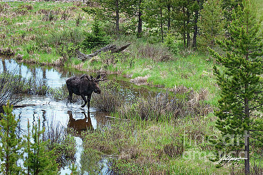 Moose on a Mission by Jim Fillpot