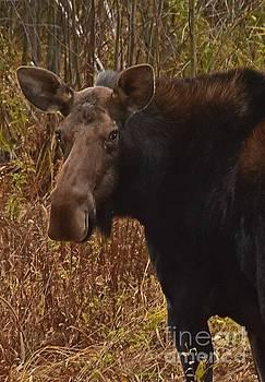Moose Portrait by Sam Rosen