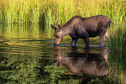 Moose Reflections by Mary Hone