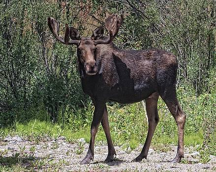 Moose Stroll by Patty Plummer