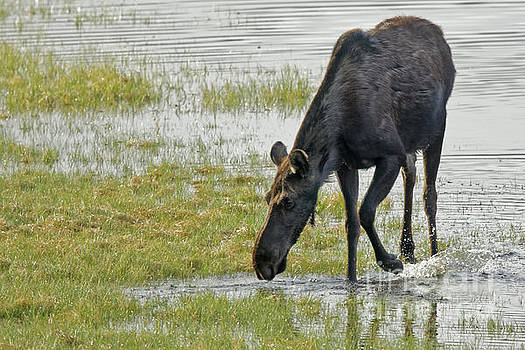 Moose Water Play by Natural Focal Point Photography