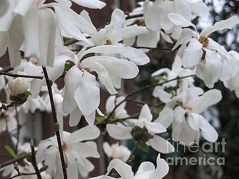 More White Blossoms by Rod Ismay