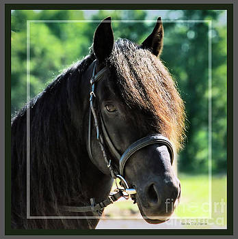 Sandra Huston - Morgan  Stallion -  Framed
