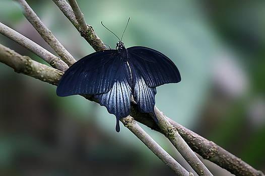 Great Mormon Butterfly by Debi Dalio