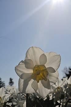 Morning Daffodil by Jennifer Englehardt