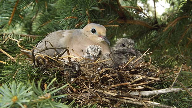 Morning Dove And Two Babys #2 by Dennis Pintoski