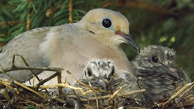 Morning Dove And Two Babys by Dennis Pintoski