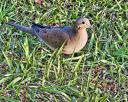 Morning Dove by Bill Perry