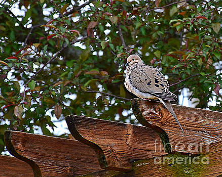 Morning Dove by Kathy M Krause