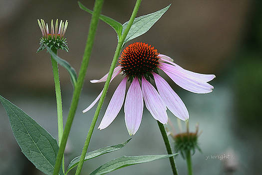 Morning Echinacea by Yvonne Wright
