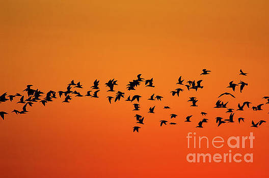 Morning Flock by Justin Bower
