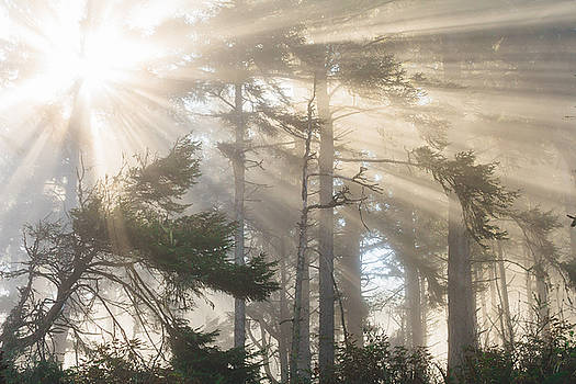 Morning Fog in the Cypress and Redwoods by Andrea Borden