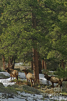 Morning for the Elk Bulls by Natural Focal Point Photography