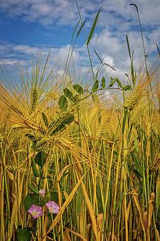 Morning Glories in the Wheat by Debra and Dave Vanderlaan