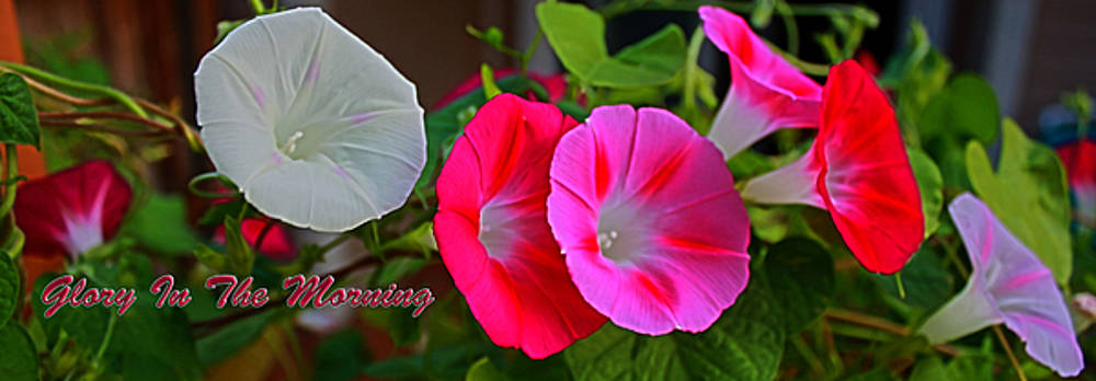 Morning Glory Banner by Barbara Dean