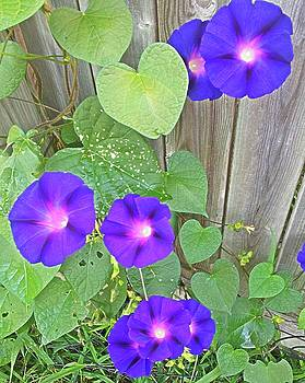 Morning Glory by Cindy Large