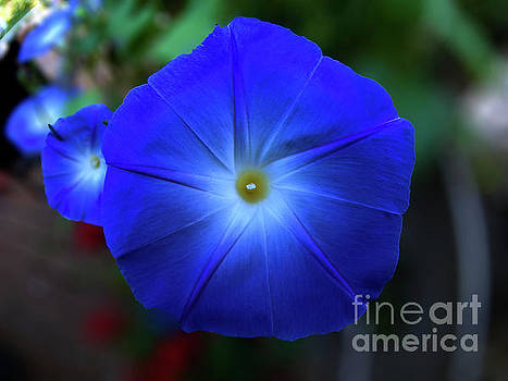 Morning Glory  by Tom Jelen
