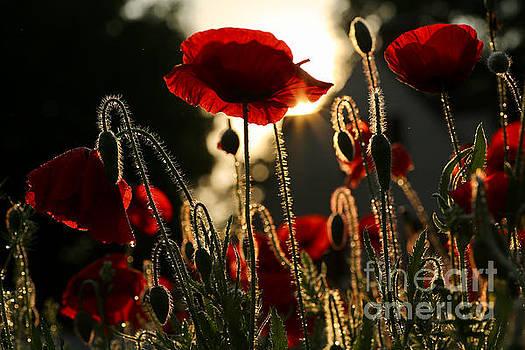 Morning in a Poppy Garden by Rachel Morrison