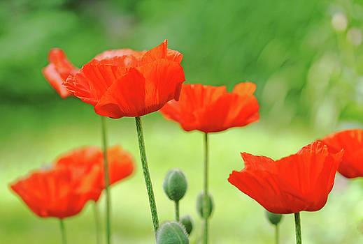 Debbie Oppermann - Morning Light Poppies