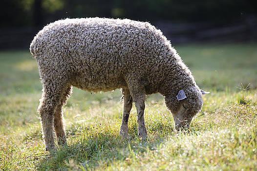 Morning Light Sheep by Rachel Morrison